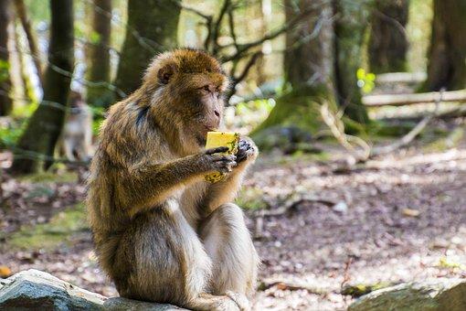 Monkey, Eat, Barbary Ape, Pineapple, Eating, Animal
