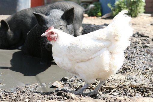 Animal, Bacon, Big, Bird, Boar, Chicken, Clean, Cute
