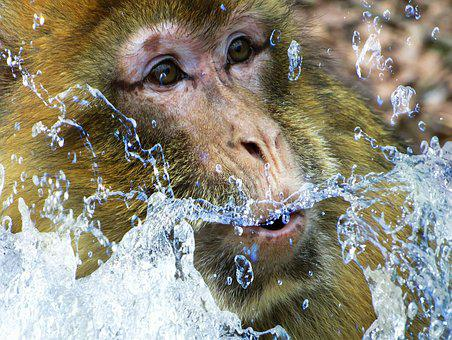 Barbary Ape, Monkey, Monkey Portrait, Monkey Face