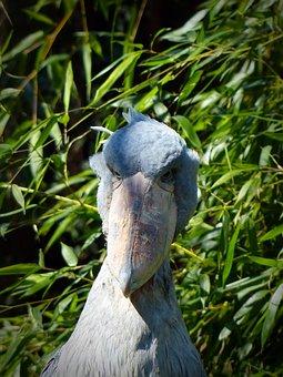 Shoebill, Bird, Big Bird, Feather, Bill, Animal