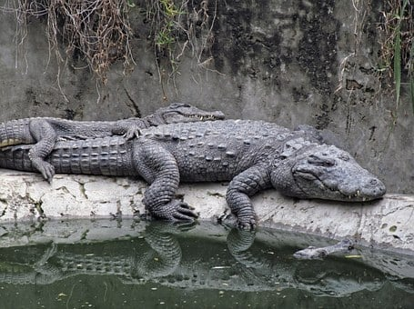 Crocodiles, Rest, Sleepy, Carnivore, Embracing