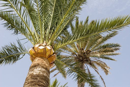 Palm, Tree, Coconut, Exotic, Paradise, Tropical