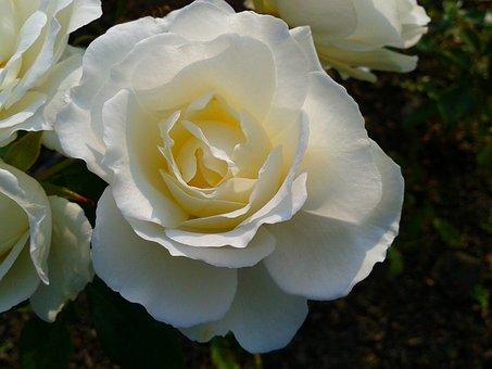 Plant, Flower, Nature, White, Roza, Rose, Garden