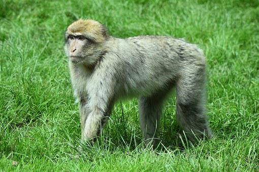 Monkey, Animal, Primate, Wild, Safari, Africa