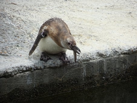 Penguin, Leaping, Action, Suspend, Animal, Small, Bird