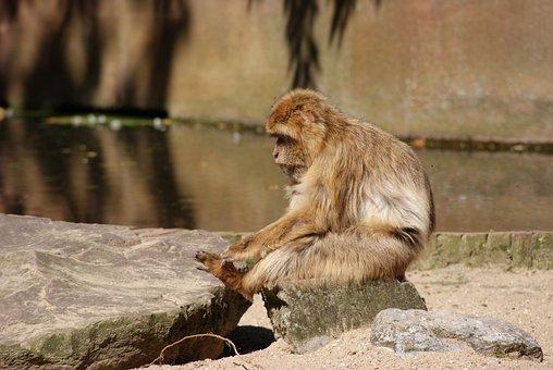 Barbary Macaque, Monkey, Apes, Animals, Nature, Mammal