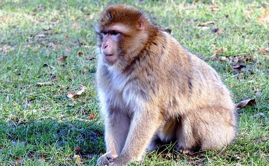 Barbary Macaque, Monkey, Barbary, Macaque, Wildlife