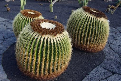 Lanzarote, Cactus Garden, Close, Cactus, Canary Islands