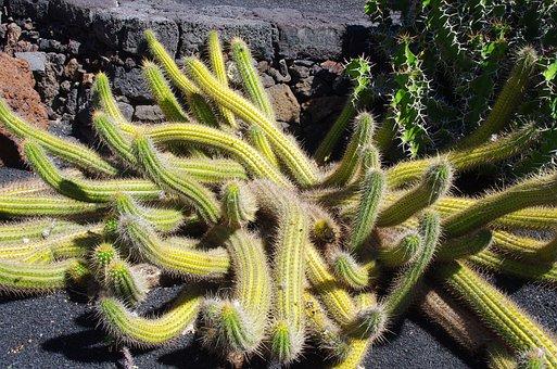 Lanzarote, Cactus Garden, Spice, Thorns, Garden, Botany