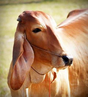 Brown, White, Background, Isolated, Snout, Agriculture