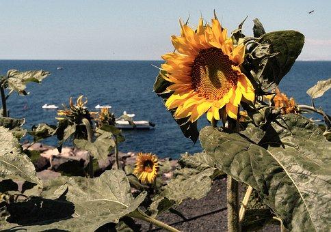 Sunflower, Beach, Lanzarote, Summer, Sea, Nature
