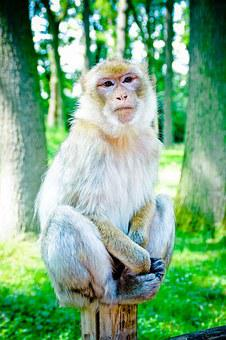 Barbary Ape, Mahogany, Makake, Macaque Species, Monkey