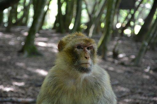 Monkey, Barbary Ape, äffchen, Mammals