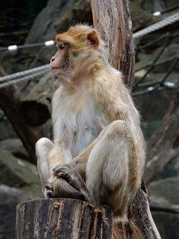 Monkey, äffchen, Zoo, Animal, Barbary Ape