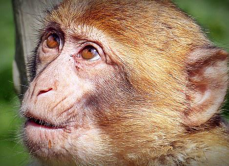 Barbary Ape, Monkey, Primate, Young Animal, Animal