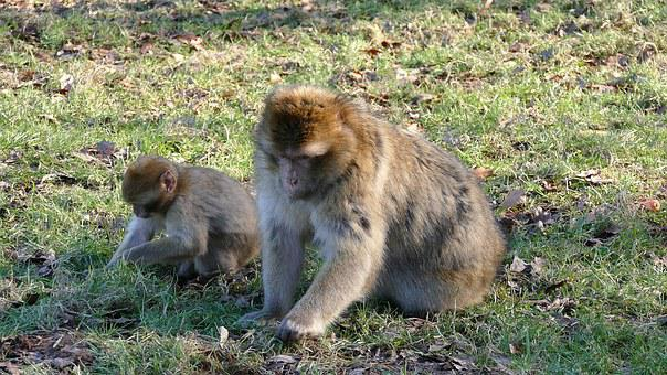 Barbary Macaque, Monkeys, Barbary, Macaque, Wildlife