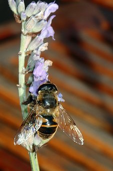 Bee, Lavender, Wings, Flower, Nature, Insect, Purple