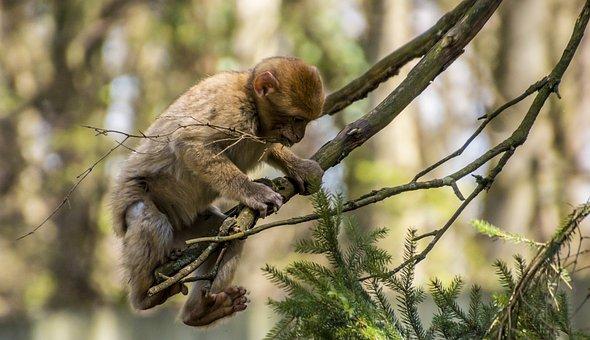Barbary Ape, Monkey, Young Animal, Young Monkey