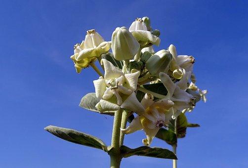 Crown Flower, Safed Aak, Angkot, Aank, Ark