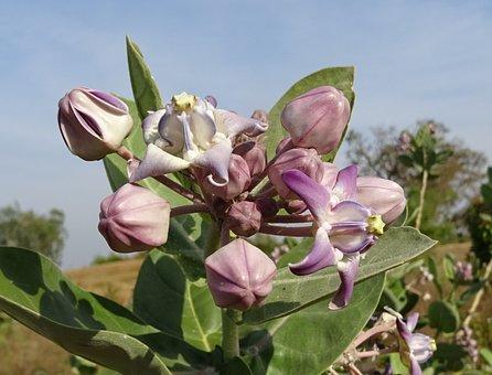 Crown Flower, Purple Aak, Angkot, Aank, Ark