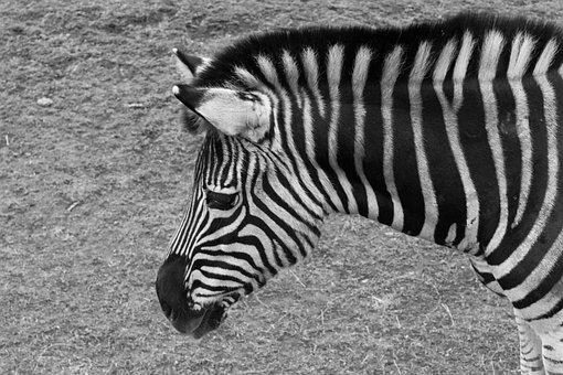 Zebra, Animal, Zoo, Fauna
