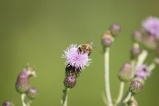 Flower, Blossom, Bloom, Insect, Bee, Honey, Thistle