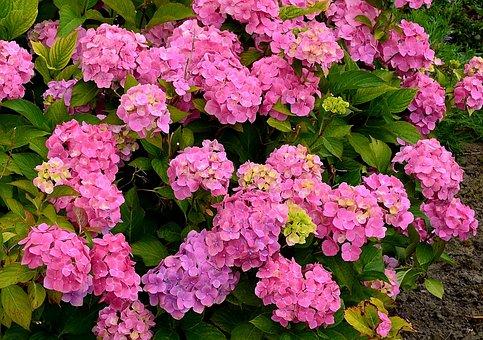 Hydrangeas, Flower Garden, Hydrangea Bush, Close