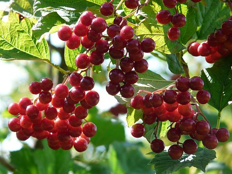 Fruits, Berries, Red, Ordinary Snowball, Ripe