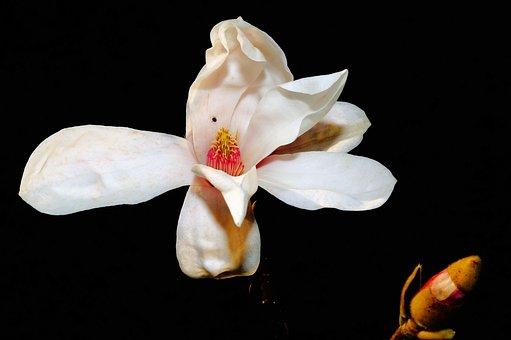 Tulip Magnolia, Blossom, Bloom, White, White Blossom