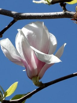 Magnolia, Blossom, Bloom, Pink, White, Grow, Close