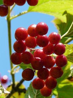 Berries, Red, Close, Macro, Ordinary Snowball, Ripe