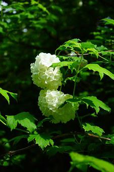 Real Snow Ball, Bush, Flowers, Leaves, White, Green