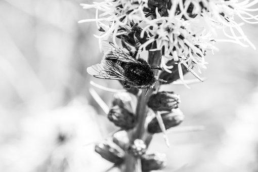 Liatris Spicata, Splendor Notch, Hummel, Insect, Shrub