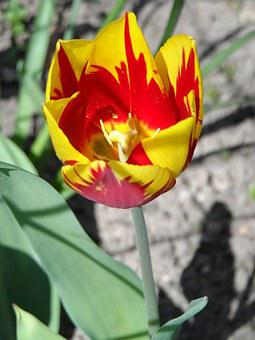 Tulip, Yellow, Red, Light, Blossom, Bloom, Flower