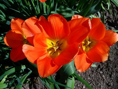 Tulip, Orange, Light, Blossom, Bloom, Flower, Spring