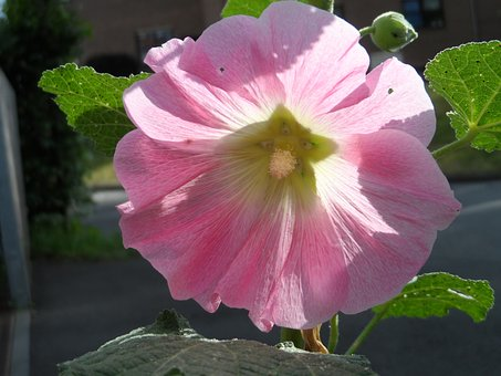 Stock Rose, Ordinary, Pink, Bright, Tender, Hollyhock