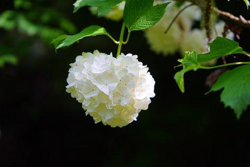 Viburnum Opulus, Inflorescence, Globose, White