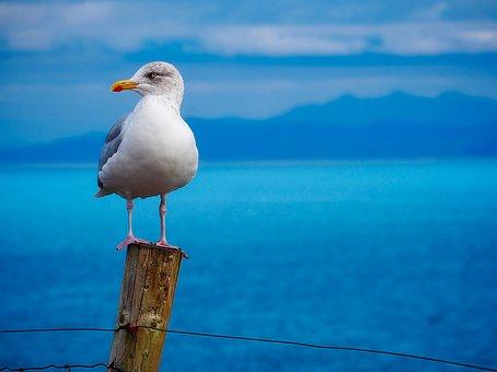 Seagull, Gull, Bird, Wildlife, Bay, Harbor, Sea, Ocean