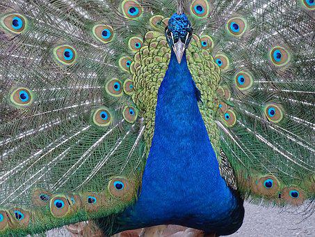 Peacock, Animals, Colors, Bird, Tail, Blue Feathers