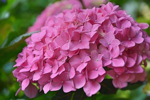 Flower, Hydrangea, Pink Hydrangea, Garden, Pink, Summer
