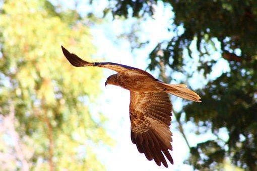 Whistling Kite, Bird Of Prey, Australia, Flight, Nature
