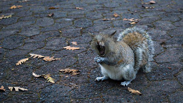 Squirrel-cat, Yawn, Foot, Open, Tooth, Tired, Predator