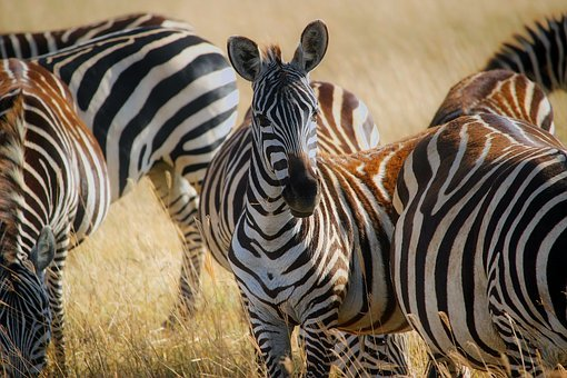 Africa, Zebras, Herd, Safari, Animals, Wildlife