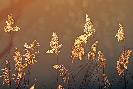 Back Light, Reed, Nature, Marsh Plant, Plant, Water