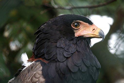 Bird, Raptor, Bird Of Prey, Nature, Adler, Animal, Fly