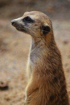 Suricate, Mongoose, Sentinel Desert, Mammal, Animals