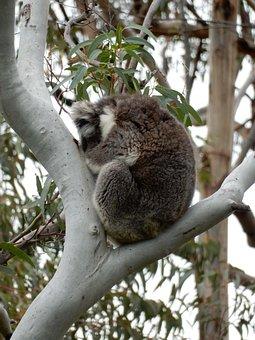 Sleeping, Koala, Australia, Wildlife, Tree, Marsupial