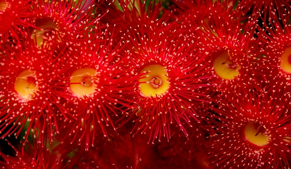 Eucalyptus Flowers, Flowers, Buds, Blossom, Australian