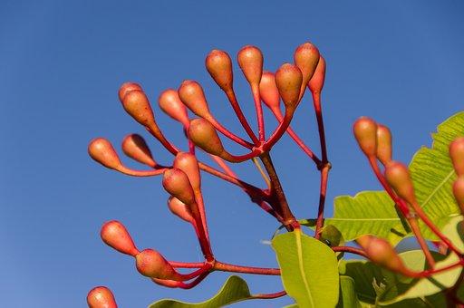 Eucalyptus Flower Buds, Buds, Blossom, Australian, Pink
