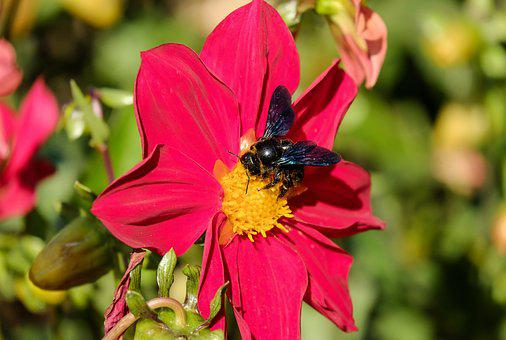Carpenter Bee, Bee, Insect, Black, Blossom, Bloom
